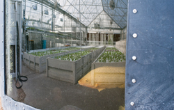 The aquaponics system is reflected in the tilapia tank at The GrowHaus.