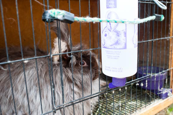 One of Bertini's Angora rabbits.