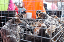 Chickens ready for sale by one vendor at the livestock exchange.