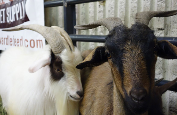 Goats at the 2014 Denver County Fair.