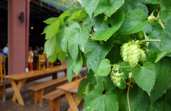 Hops don't get much more local than the vines at Denver Beer Co.