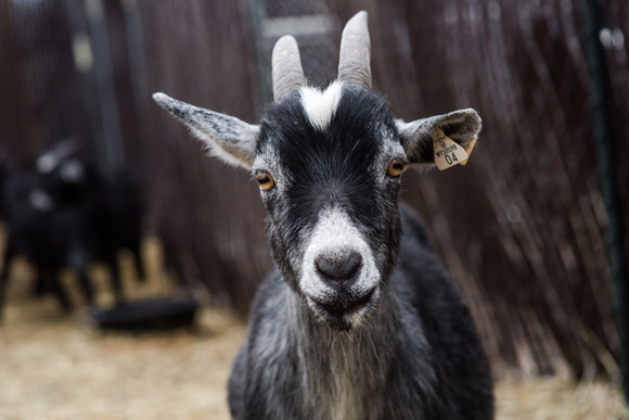 Wardle Feed & Pet Supply in Wheat Ridge sells goats.