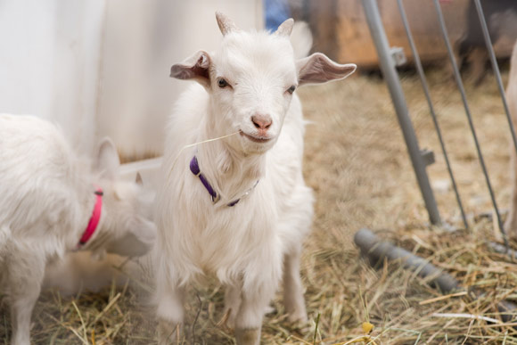 The popularity of legal backyard goats is on the rise in Denver.