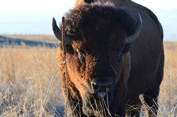 The bison's range on the refuge is slated to expand to 12,000 acres.
