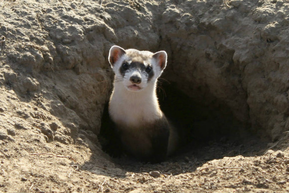 A recently reintroduced black-footed ferret peers out from a burrow.