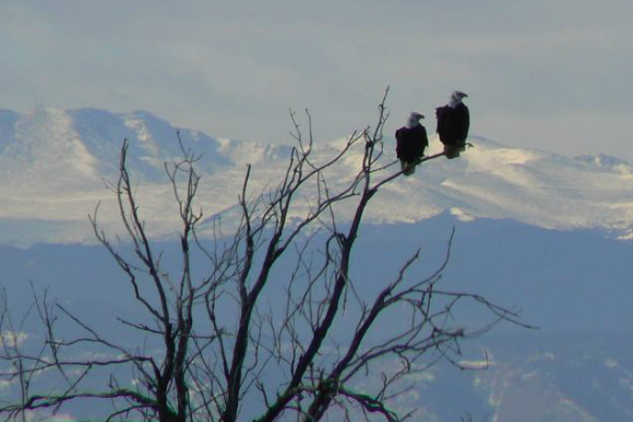 Bald eagles roosting led to the Rocky Mountain Arsenal's designation as a wildlife refuge.