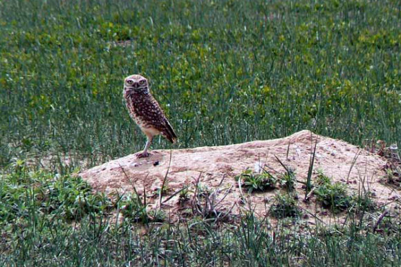 Burrowing owls live in abandoned prairie dog burrows.
