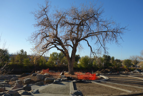 The redesign of Grant-Frontier Park preserved a century-old cottonwood tree.