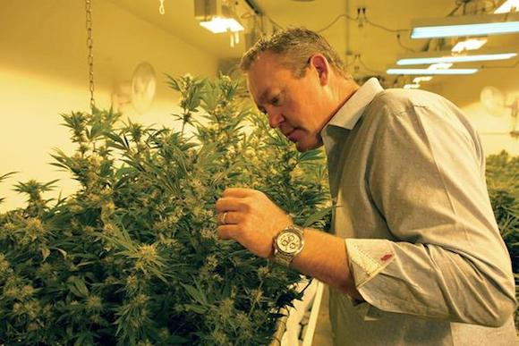 Colorado Harvest Company's Tim Cullen checks plants.