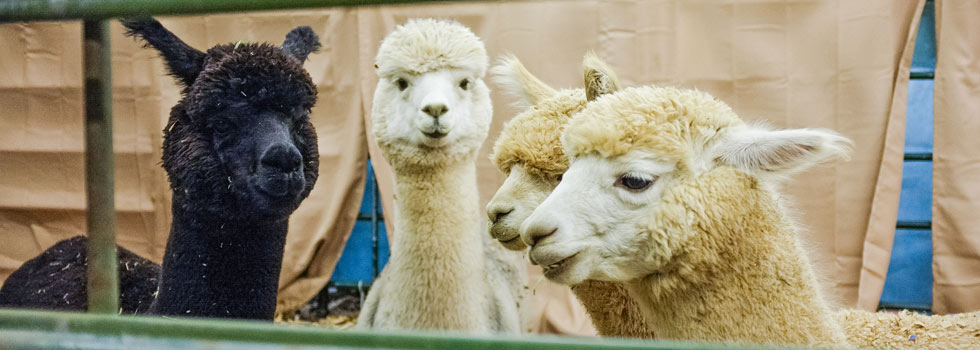 Alpacas at the 110th National Western Stock Show